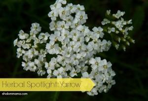 Herbal Spotlight: Yarrow